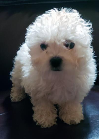 Bolognese Breeder | Dog | Cassie | Female