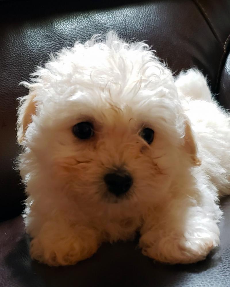 Bolognese Breeder | Dog | Leah | Boy